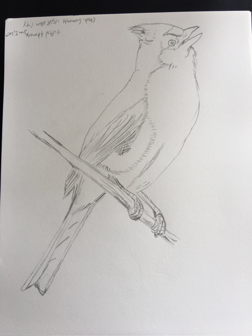 tufted_titmouse - 2